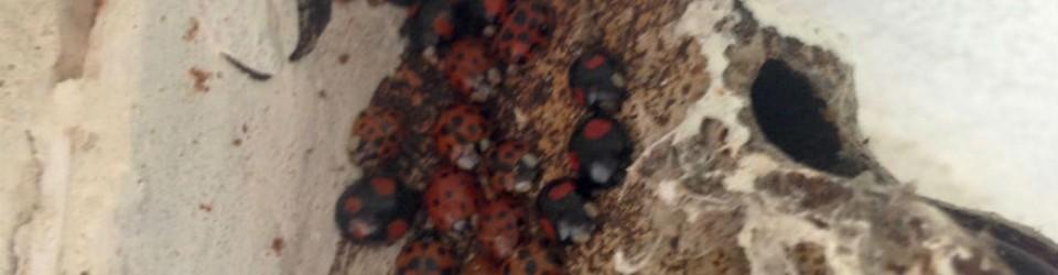 nesting ladybirds